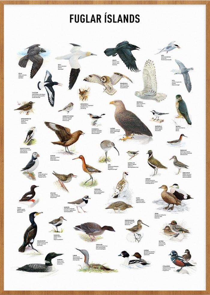 Fuglar Íslands - veggspjald