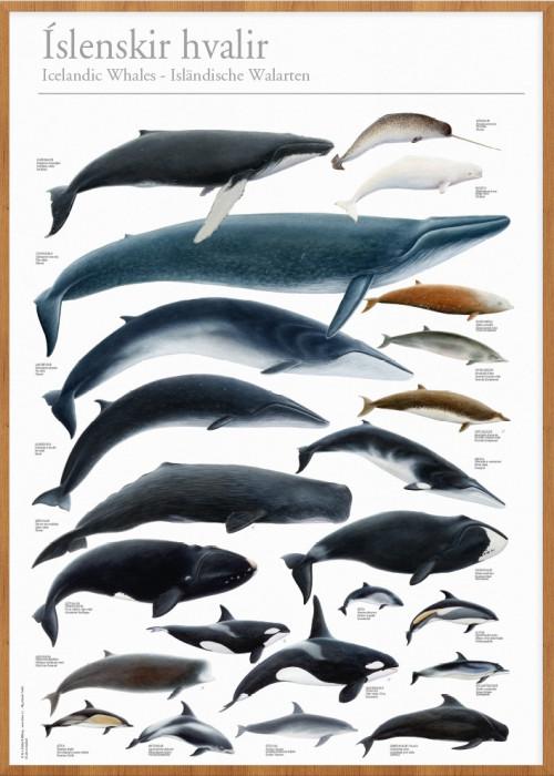 Íslenskir hvalir - veggspjald